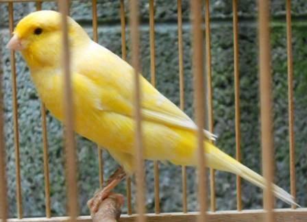 Burung Kenari Lokal Super
