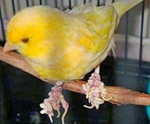 Burung kenari, cara mengobati kaki kenari yang bengkak, obat kaki kenari yang jamuran, mengobati kaki kenari bersisik, mengobati kaki kenari berjamur