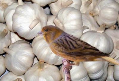Burung kenari, jual kenari, ternak kenari, kenari, khasiat bawang putih mentah, khasiat bawang putih untuk wajah