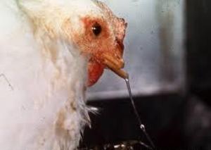 Ayam Terkena Penyakit Pilek/ Snot