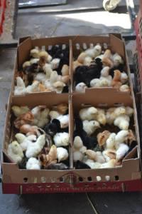 Ayam jawa super, DOC ayam jawa super, bisnis peternakan yang paling menguntungkan, jual DOC ayam jawa super, budidaya JOPER, harga DOC joper, Jual DOC Ayam Jawa Super, Harga DOC Ayam Jawa Super