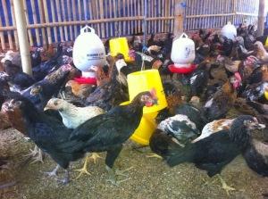 ayam jawa super, DOC ayam jawa, harga DOC joper ayam jawa, konsentrat pedaging, ternak yang paling cepat panen, menambah nafsu makan ayam jawa, Jual DOC joper, Harga DOC joper
