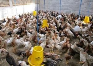 Ayam jawa super, DOC ayam jawa super, jual DOC ayam jawa super, harga DOC ayam jawa super, budidaya joper, kandang doc yang baik, cara membuat kandang doc, jual DOC joper, Harga DOC joper