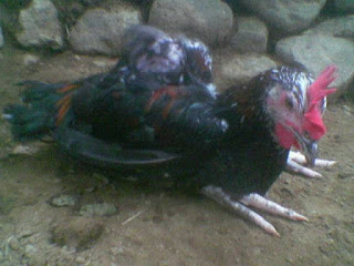 Ayam Jawa Super Terkena Penyakit Lumpuh