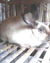 Kelinci American Sable