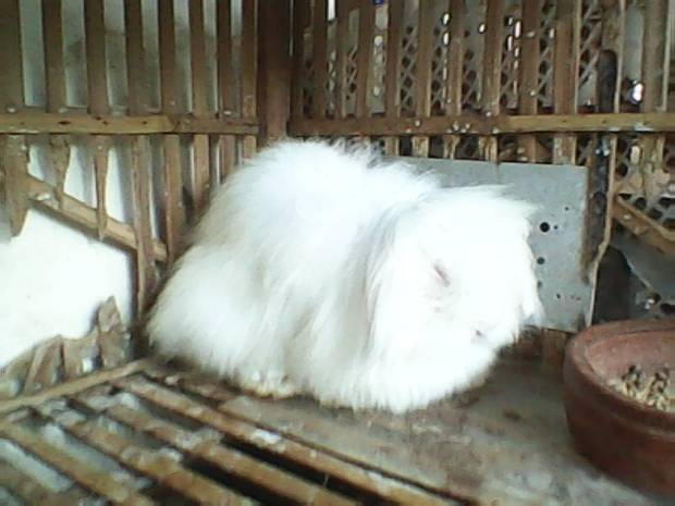 Kelinci Fuzzy Lop Albino