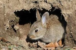Kelinci Suka Menggali