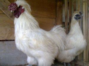 Ayam Kapas Dewasa Sepasang