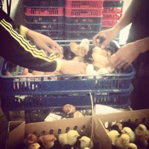Persiapan Pengiriman DOC Ayam Kampung Super