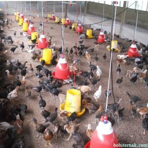 Pakan Ayam Kampung Super