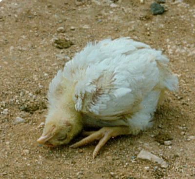 Penyakit Tetelo pada Ayam Kampung Super
