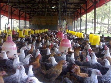 Ayam Kampung Super