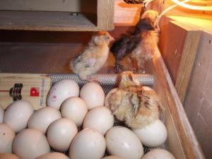Penetasan Telur Ayam kampung super