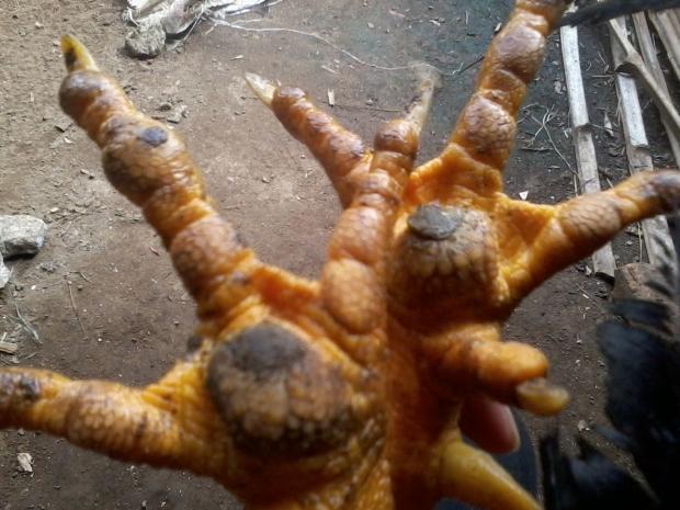 Penyakit Bubul pada Ayam Kampung Super